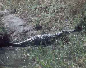 Crocodile at Liwonde Park