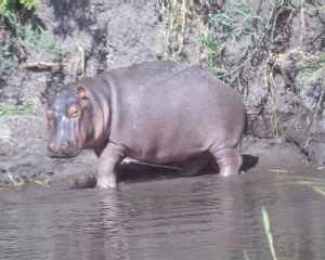 Hippo at Liwonde Park